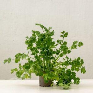 comprar cilantro tenerife