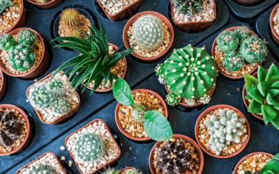¿Cómo cuidar tus cactus en casa?