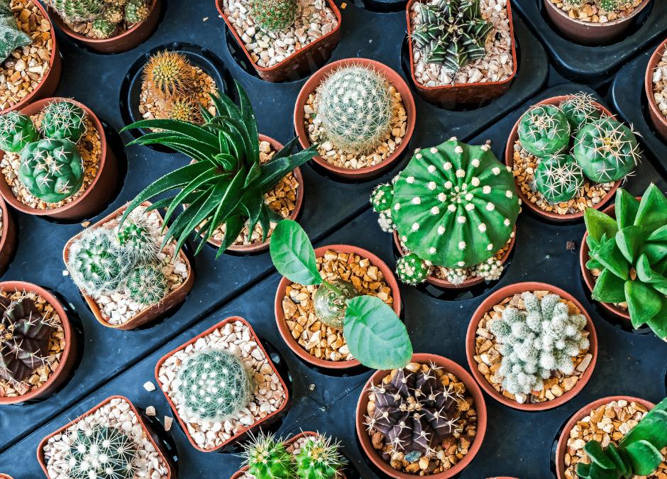 cactus en casa