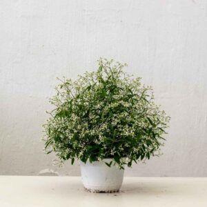 comprar Euphorbia hypericifolin tenerife