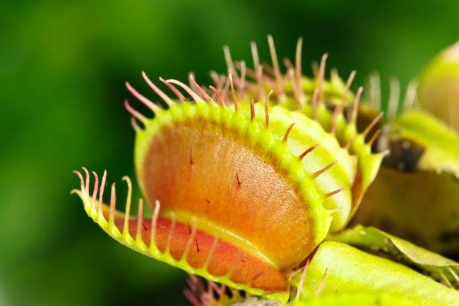 planta carnivora como cuidarla