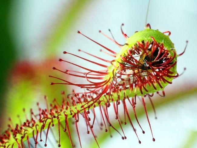 planta carnivora dionaea cuidados