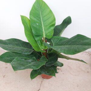 philodendrum imperial tenerife